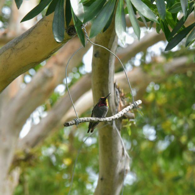 hummingbird3